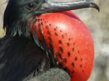 Magnificent Frigatebird on the Galapagos Islands. Photo courtesy of eschu1952.