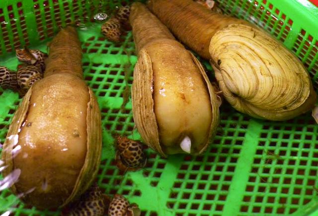 elephant clam