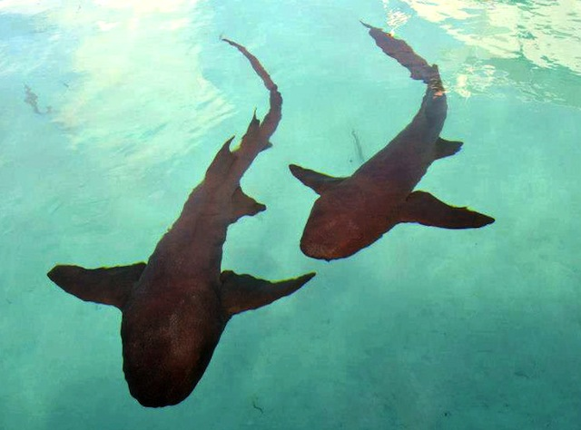 Swimming With Nurse Sharks At Compass Cay, Exumas, Bahamas