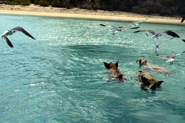 SwimmingPigs1