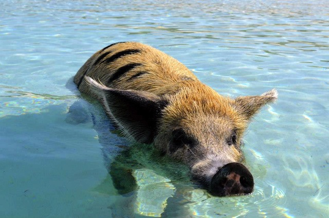 Swimming With Pigs in the Bahamas, Exumas Cays Style…