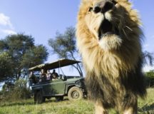 Lion on safari