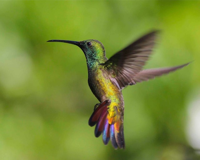 Green-throated Mango Hummingbird