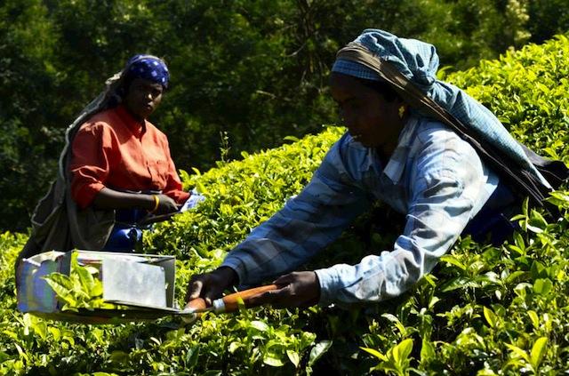 women tea pickers