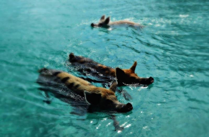 Swimming Pigs [Print]