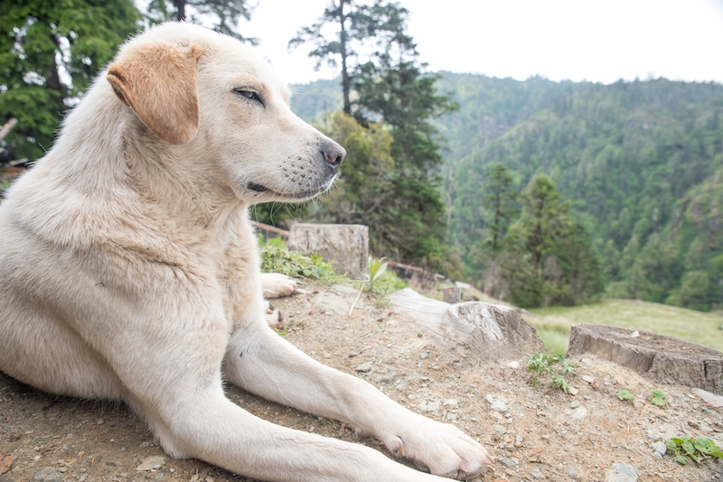 trail dog in nepal