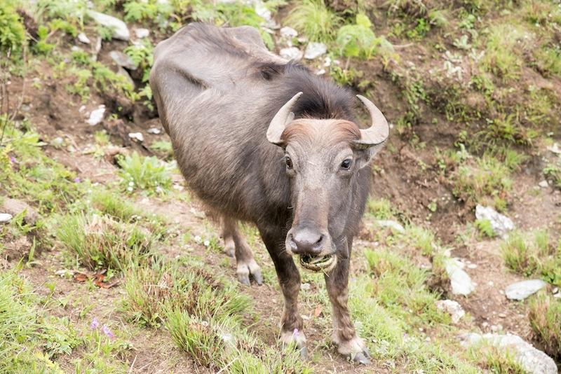 yak grazing in himalayas nepal