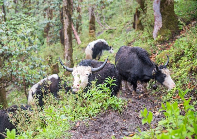yaks grazing in nepal